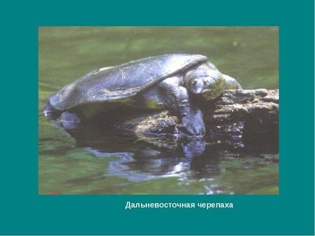 Дальневосточная черепаха