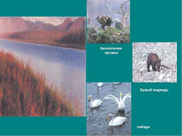 Белоплечие орланы Бурый медведь лебеди