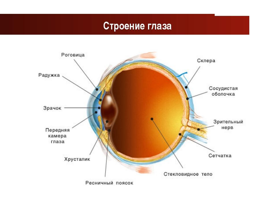 www.themegallery.com Company Logo Строение глаза Company Logo