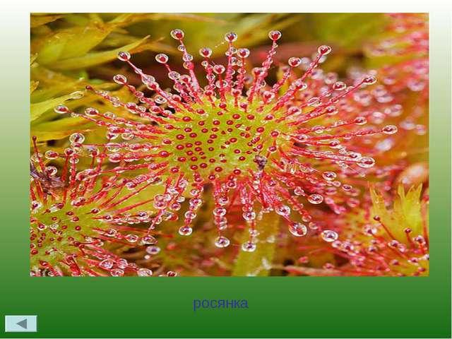 Назовите растение – хищник, растущее на территории Удмуртии росянка