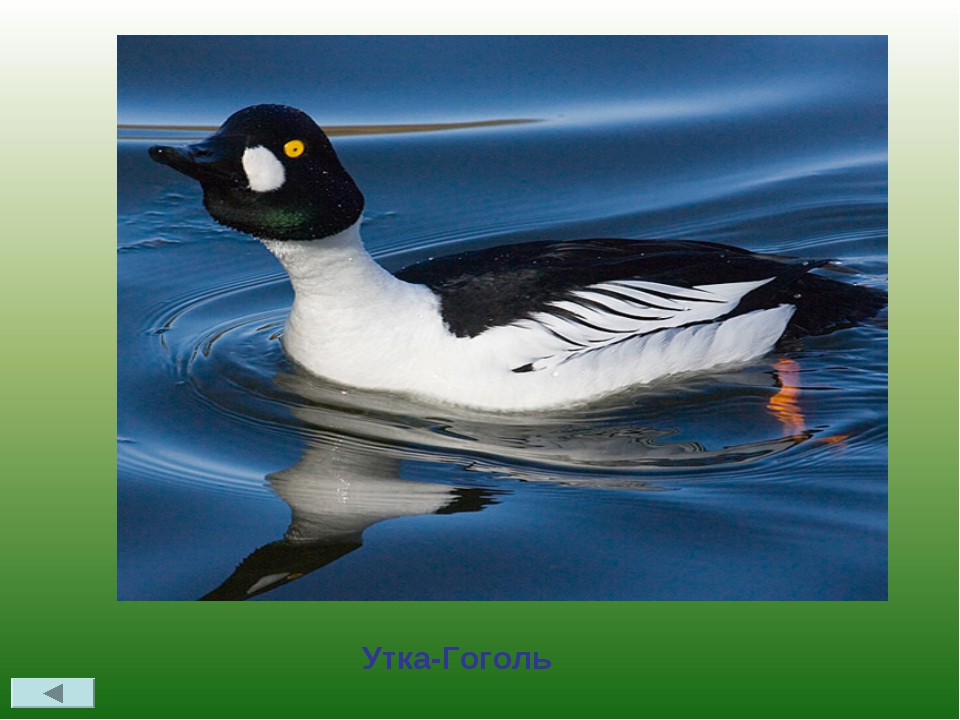 В Удмуртии встречается птица, название которой совпадает с фамилией русского...