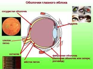 фиброзная оболочка (белочная оболочка или склера; роговица) Оболочки глазного