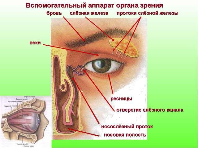 Вспомогательный аппарат органа зрения бровь слёзная железа протоки слёзной же...