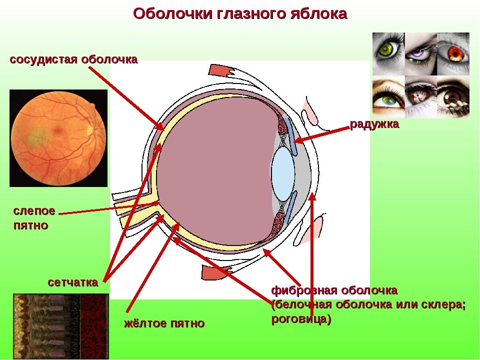 фиброзная оболочка (белочная оболочка или склера; роговица) Оболочки глазного...