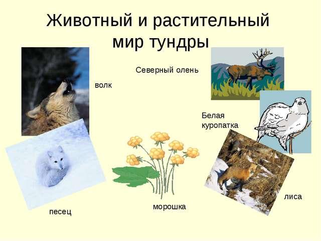 Животный и растительный мир тундры волк песец морошка лиса Белая куропатка Се...