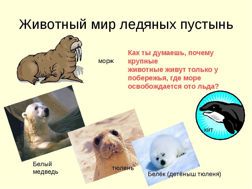 Животный мир ледяных пустынь морж Белый медведь Как ты думаешь, почему крупны...