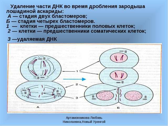 Артамонникова Любовь Николаевна,Новый Уренгой Удаление части ДНК во время дро...
