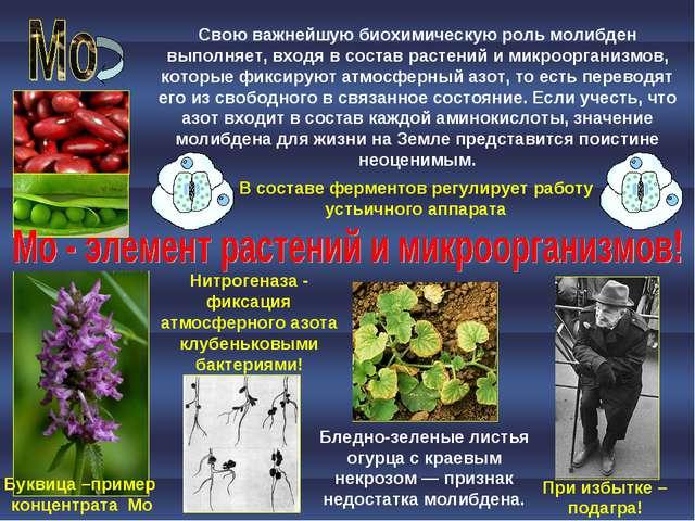 При избытке – подагра! Бледно-зеленые листья огурца с краевым некрозом — приз...