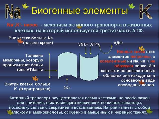 Биогенные элементы Na+,К+- насос - механизм активного транспорта в животных к...