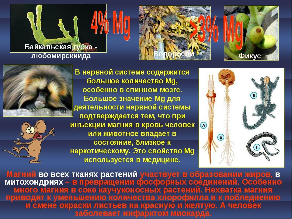 В нервной системе содержится большое количество Mg, особенно в спинном мозге....