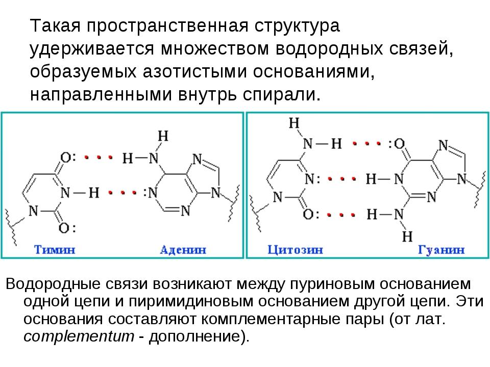 Такая пространственная структура удерживается множеством водородных связей,...