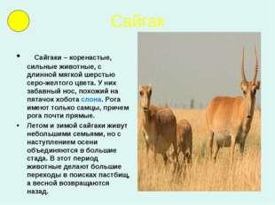 Сайгак  Сайгаки – коренастые, сильные животные, с длинной мягкой шерстью се