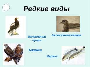 Редкие виды Белоклювая гагара Нарвал Балабан Белоплечий орлан