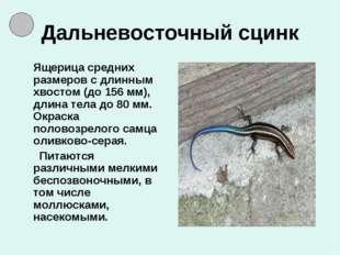 Дальневосточный сцинк Ящерица средних размеров с длинным хвостом (до 156 мм),