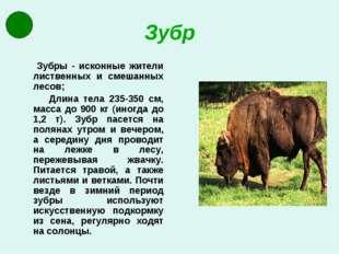 Зубр Зубры - исконные жители лиственных и смешанных лесов; Длина тела 235-350