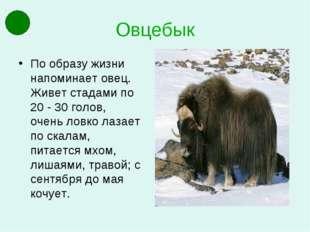 Овцебык По образу жизни напоминает овец. Живет стадами по 20 - 30 голов, очен