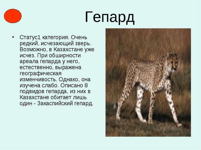 Гепард Статус1 категория. Очень редкий, исчезающий зверь. Возможно, в Казахст...
