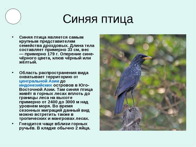 Синяя птица Синяя птица является самым крупным представителем семейства дрозд...