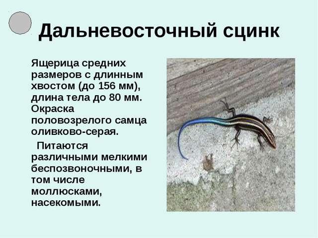 Дальневосточный сцинк Ящерица средних размеров с длинным хвостом (до 156 мм),...