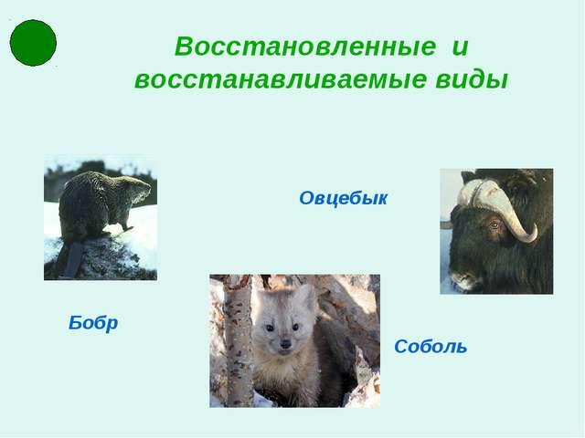Восстановленные и восстанавливаемые виды Соболь Бобр Овцебык
