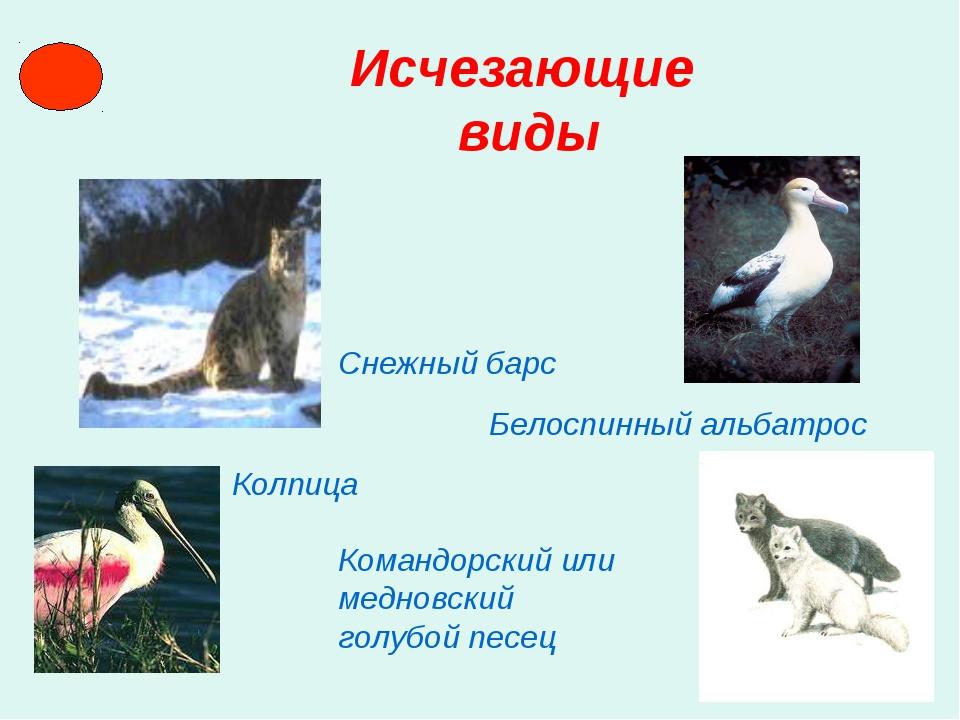 Исчезающие виды Снежный барс Белоспинный альбатрос Колпица Командорский или...