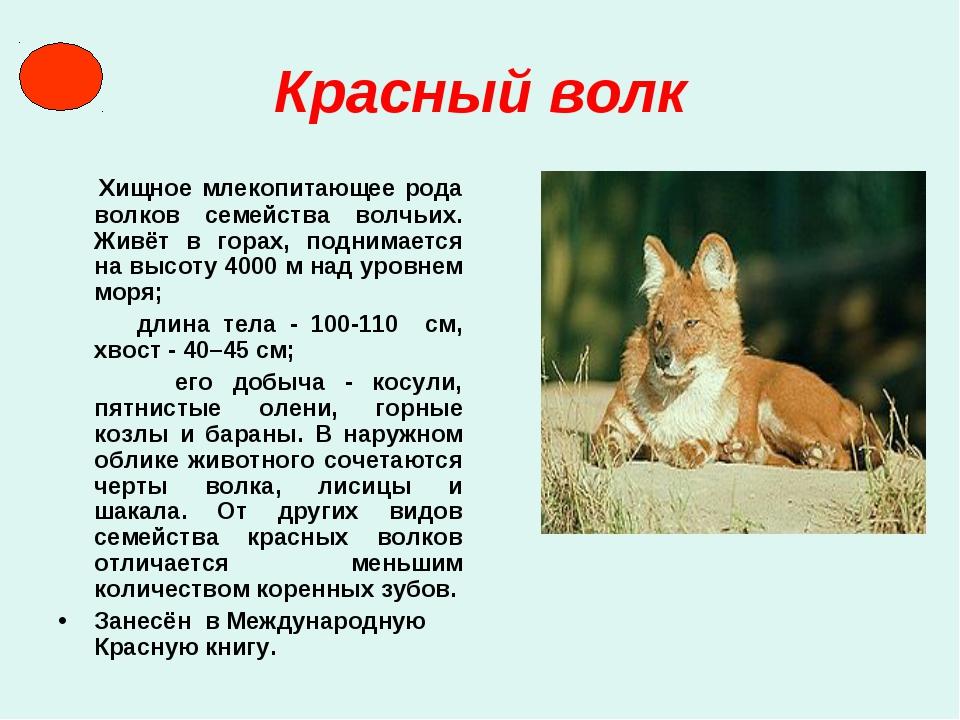 Красный волк Хищное млекопитающее рода волков семейства волчьих. Живёт в гора...