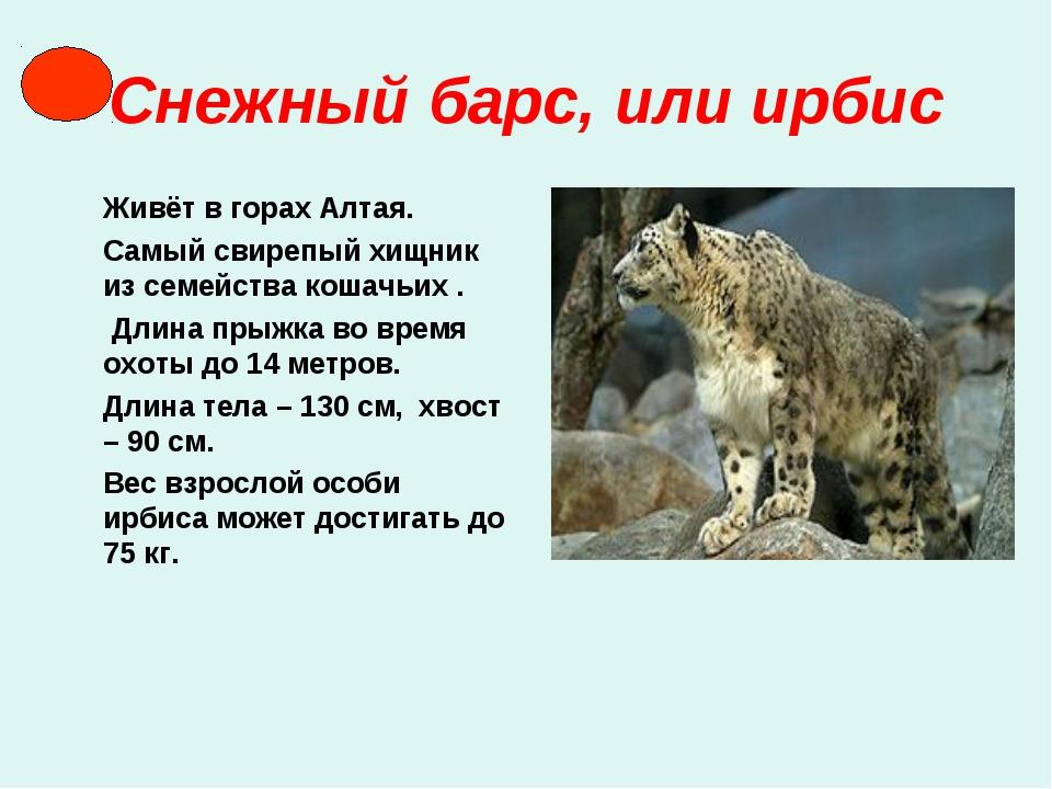 Снежный барс, или ирбис Живёт в горах Алтая. Самый свирепый хищник из семейст...