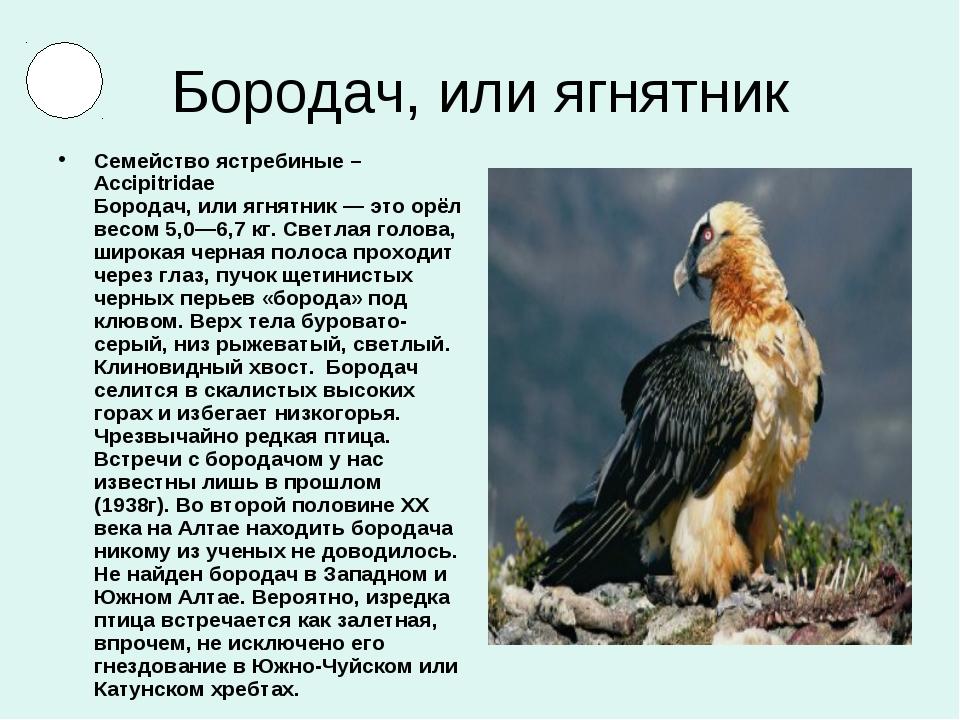 Бородач, или ягнятник Семейство ястребиные – Accipitridae Бородач, или ягнятн...