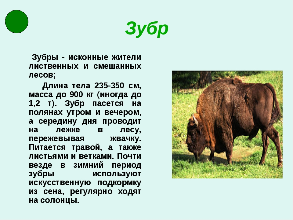 Зубр Зубры - исконные жители лиственных и смешанных лесов; Длина тела 235-350...