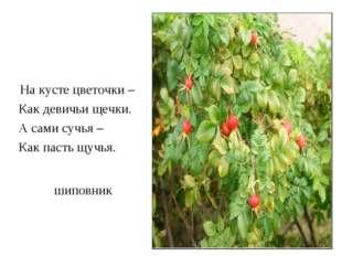 шиповник На кусте цветочки – Как девичьи щечки. А сами сучья – Как пасть щучья.