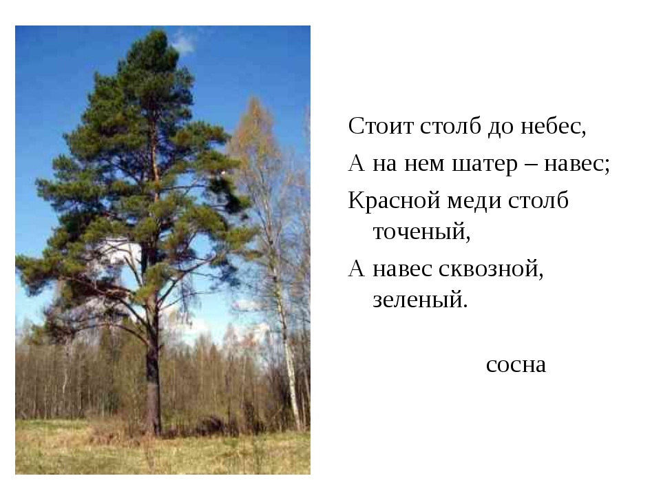 сосна Стоит столб до небес, А на нем шатер – навес; Красной меди столб точены...