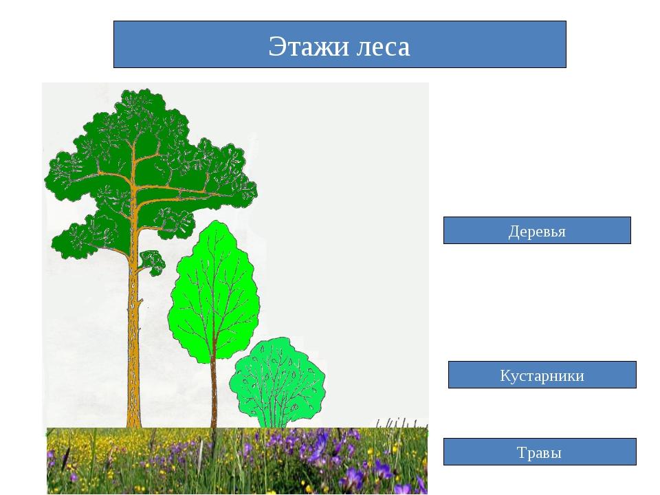 Этажи леса Деревья Кустарники Травы