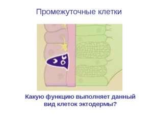 Промежуточные клетки Какую функцию выполняет данный вид клеток эктодермы?