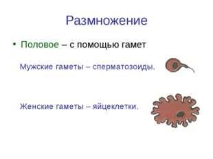 Размножение Половое – с помощью гамет Мужские гаметы – сперматозоиды. Женские