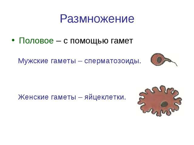 Размножение Половое – с помощью гамет Мужские гаметы – сперматозоиды. Женские...