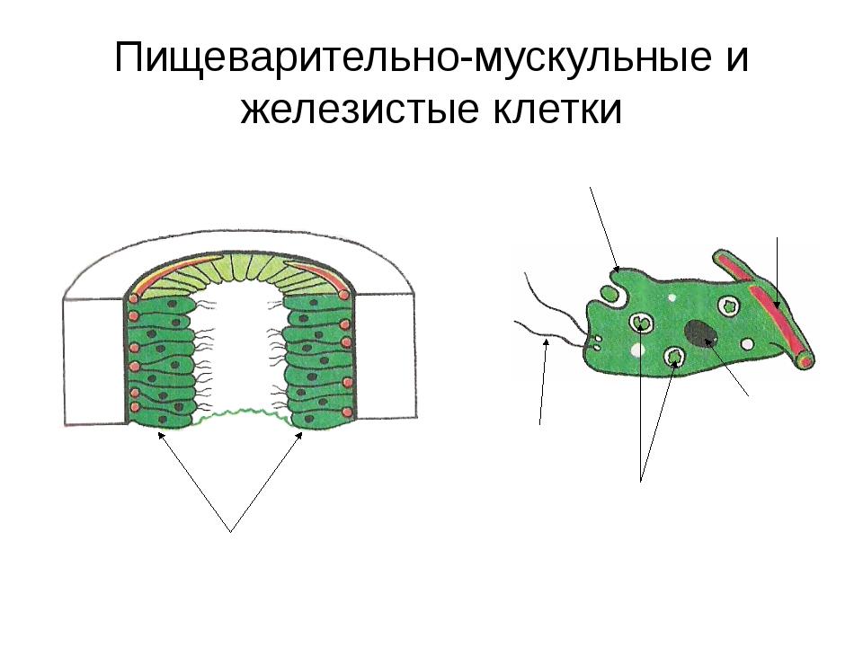 Пищеварительно-мускульные и железистые клетки