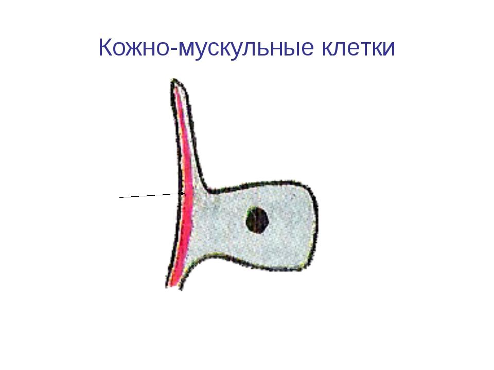 Кожно-мускульные клетки Мускульное волоконце