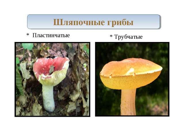 Шляпочные грибы * Пластинчатые * Трубчатые