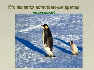 Кто является естественным врагом пингвинов?
