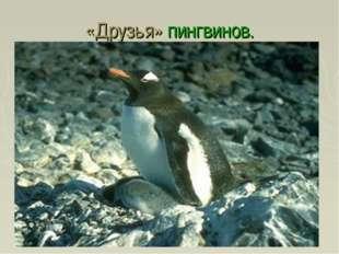 «Друзья» пингвинов.
