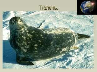 Тюлень.
