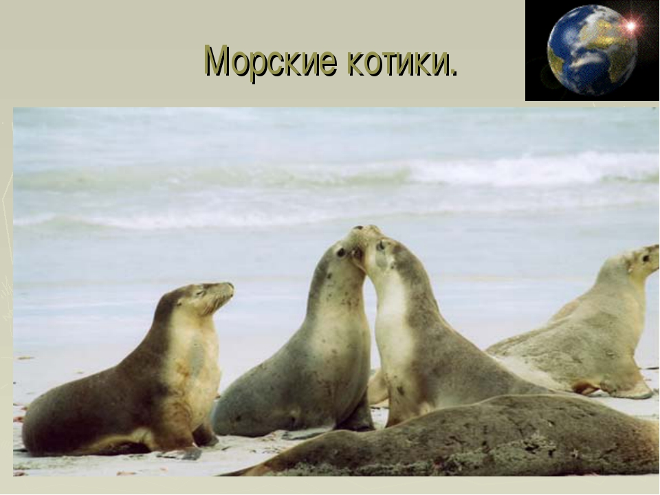 Морские котики.