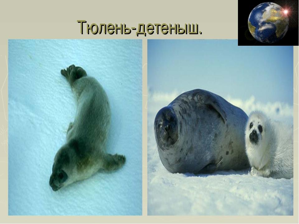 Тюлень-детеныш.