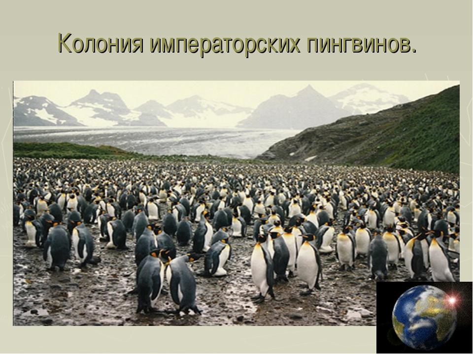 Колония императорских пингвинов.