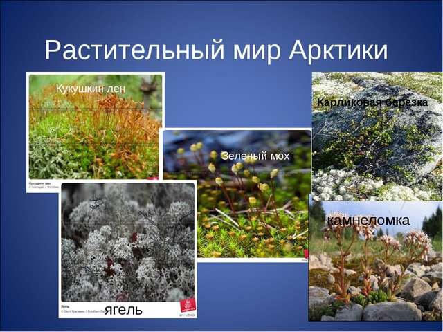 Растительный мир Арктики камнеломка ягель Зеленый мох Кукушкин лен Карликовая...
