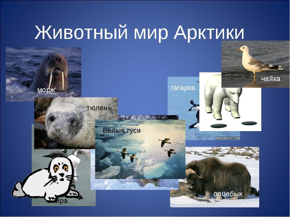 Животный мир Арктики морж тюлень Белый медведь овцебык чайка гагарка Белые гу...