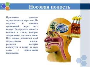 Правильное дыхание осуществляется через нос. Он согревает и очищает проходящи