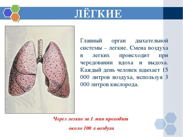 ЛЁГКИЕ Через легкие за 1 мин проходит около 100 л воздуха Главный орган дыхат...