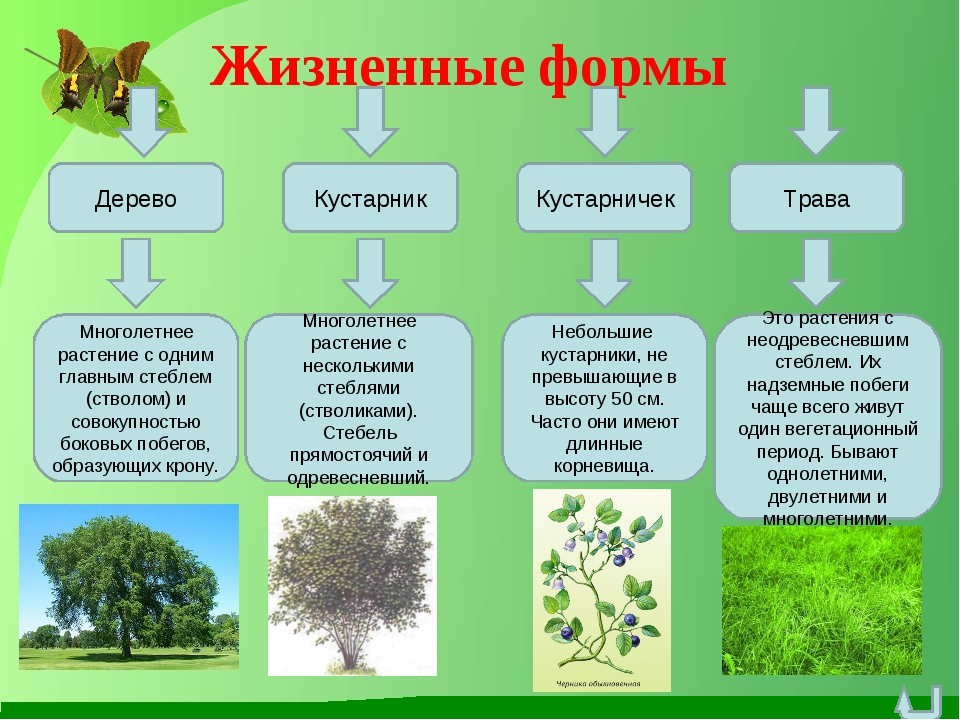 Жизненные формы Дерево Кустарничек Кустарник Трава Многолетнее растение с одн...