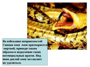 Во избежание неприятностей Свиная змея змея притворяется мертвой, приводя так